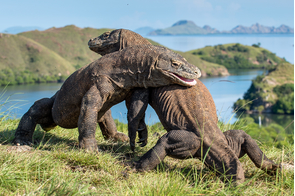 Komodo dragons fighting on Rinca Island, Indonesia