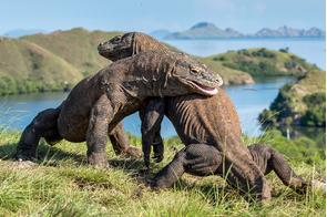 Komodo dragons fighting on Rinca Island, Indonesia