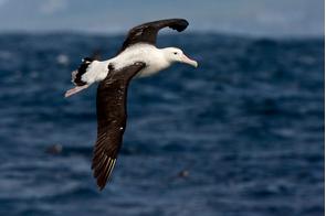 Tristan albatross, Gough Island
