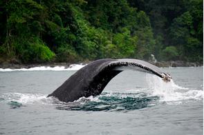 Humpback whale in Bahia Solano, Colombia