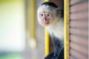 Capuchin monkey on Gorgona island, Colombia