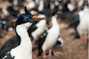 Imperial shag on Bleaker Island, Falkland Islands