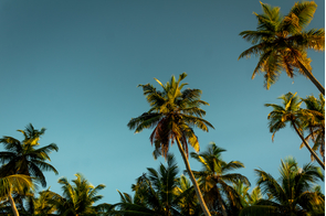 Palm trees on Alphonse Atoll, Seychelles