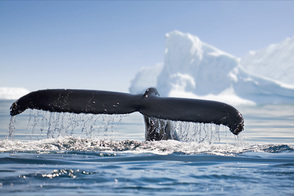 Whale tail in Antarctica