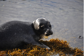 Seal pup in Strangford Lough, Northern Ireland