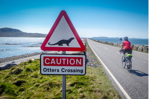 Otter crossing in Berneray, Barra Isles, Scotland