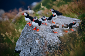 Atlantic puffins on Runde Island, Norway