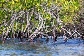 Magrove on Isla Eden, Santa Cruz, Galapagos
