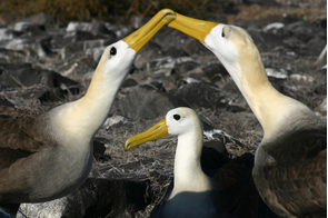 Waved albatross courting on Española island, Galapagos