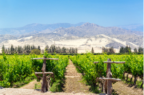 Vineyards in Pisco, Peru