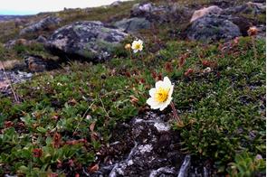 White Arctic dryad in Iqaluit, Nunavut, Canada