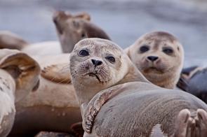 Northern fur seals, Sea of Okhotsk, Russia