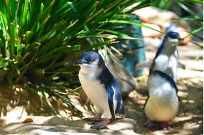 Little blue penguins in Australia