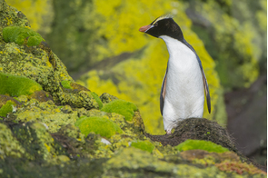 Erect-crested penguin, Bounty Islands, New Zealand