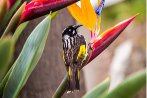 New Holland honeyeater in Port Lincoln, Eyre Peninsula, Australia