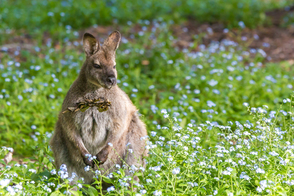 Bennett's wallaby on Bruny Island, Australia