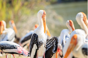 Painted storks in Bundala National Park, Sri Lanka