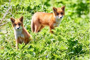 Foxes on Onekotan island, Russia