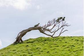 Windswept tree on Chatham Islands, New Zealand