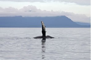 Humpback whale, Point Adolphus, Alaska