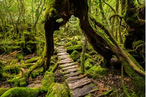 Forest in Yakushima, Japan