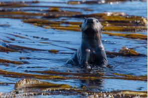 Otter on Shumshu Island, Russia