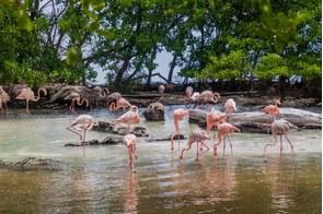 Flamingos on Palma island, San Bernardo archipelago, Colombia
