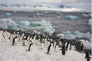 Adelie penguins on Paulet Island, Antarctica