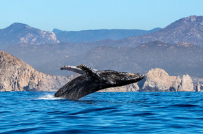 Whale breaching in the Sea of Cortez, Mexico