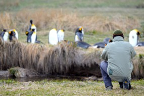 King penguin colony, Tierra del Fuego