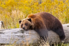 Alaska cruises - Grizzly bear