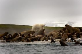 Arctic & Svalbard expedition cruises - Polar bear and walrus