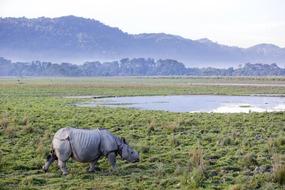 Rhino in Kaziranga National Park, one of the highlights of a Brahmaputra river cruise