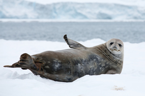 Antarctica cruises - Seal on the ice
