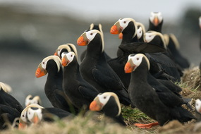 Russian Far East expedition cruises - Tufted puffins