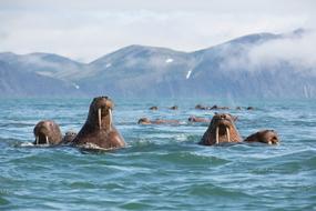 Russian Far East cruises - Walruses in Kamchatka