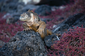 Galapagos expedition cruises - Land iguana