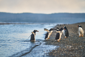 Penguins in the Beagle Channel on a Chilean Fjords & Patagonia cruise