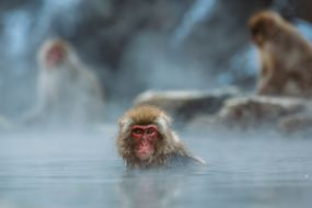 Japan expedition cruises - Snow monkeys