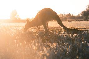 Australia cruises - Kangaroo