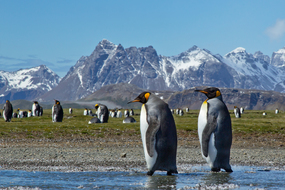 Subantarctic islands cruises - Penguins in South Georgia