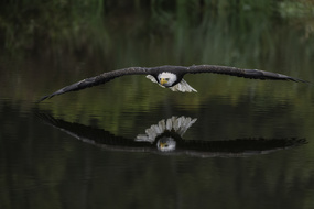 Alaska & Pacific Northwest expedition cruises - Bald eagle