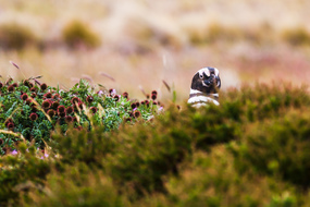 Chilean Fjords & Patagonia expedition cruises - Magellanic penguin in Punta Arenas