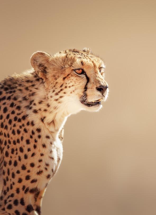 West Africa cruises - Cheetah in the Kalahari Desert, Namibia