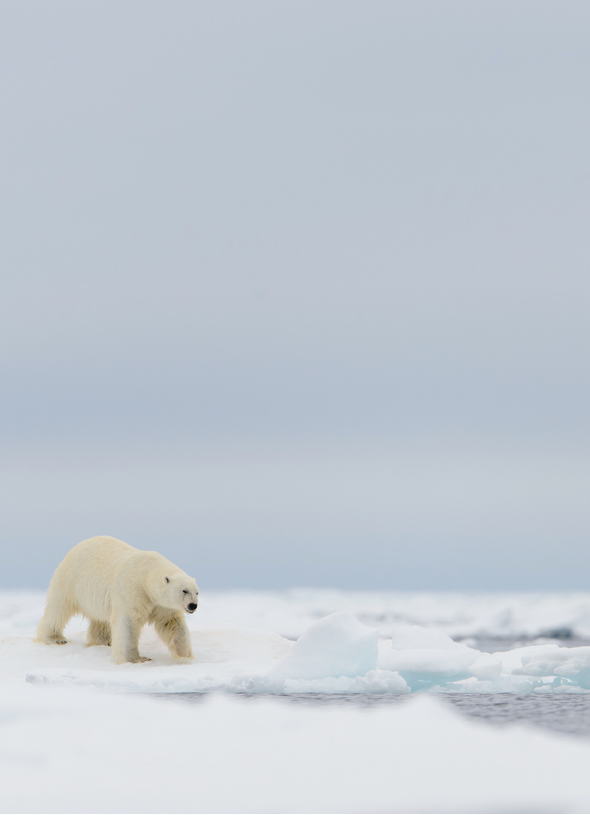 Arctic & Svalbard expedition cruises - Zodiac and polar bear