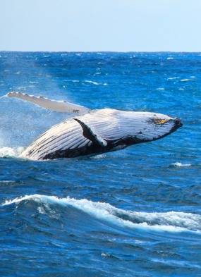 Humpback whale in the Atlantic Ocean