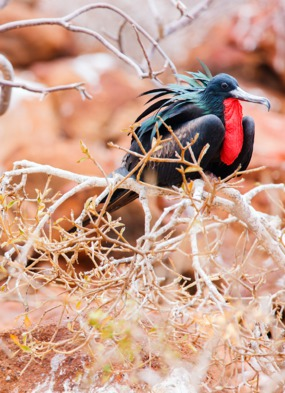 Galapagos wildlife cruises - Frigate bird on North Seymour Island