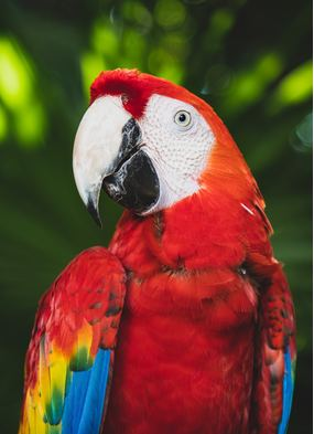 Scarlet macaw, one of the iconic wildlife species you can see on an expedition cruise