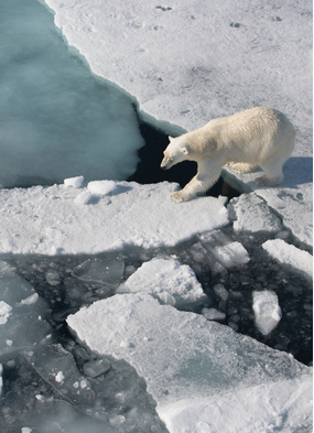 A polar bear on the ice, one of the highlights of a Northwest or Northeast Passage expedition cruise