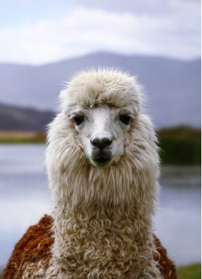 A llama in Peru - one of many reasons why you should book a South America cruise